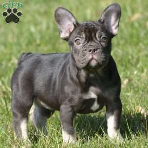 a French Bulldog puppy named Coco