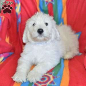a Goldendoodle puppy named Coco