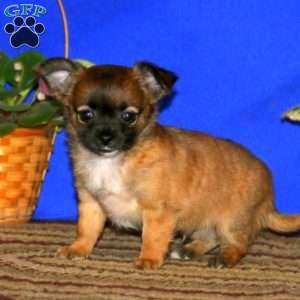 a Chihuahua puppy named Cocoa