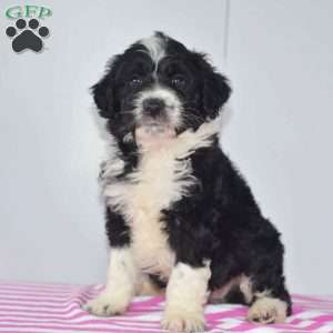 a Aussiedoodle puppy named Connor