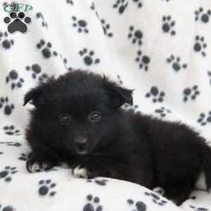 a Pomeranian puppy named Cookie