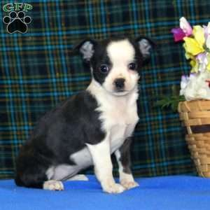 a Boston Terrier Mix puppy named Cookie