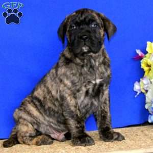 a Presa Canario puppy named Cruz
