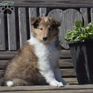 a Collie puppy named Gemstone