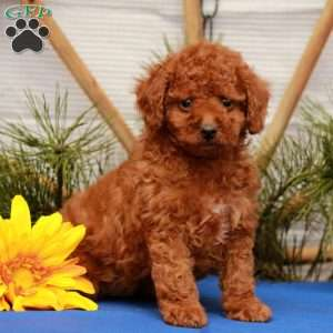 a Cockapoo puppy named Darcy