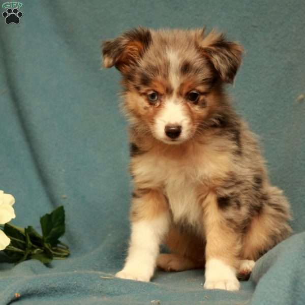 Derby, Toy Australian Shepherd Puppy