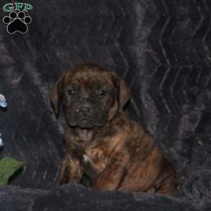a African Boerboel puppy named Dillon