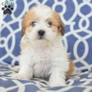 a Havanese puppy named Donny