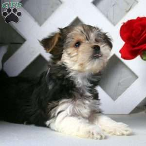 a Biewer Terrier puppy named Eddie