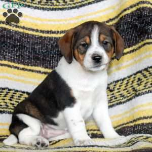 a Beagle Mix puppy named Farrah