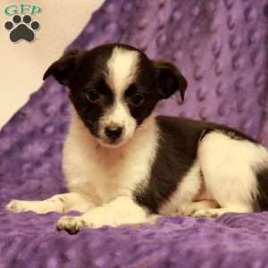 a Toy Australian Shepherd Mix puppy named Fawn