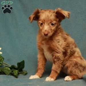 a Toy Australian Shepherd puppy named Fern