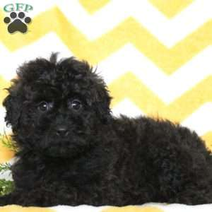 a Miniature Poodle puppy named Flynn