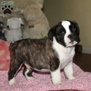 a Olde English Bulldogge puppy named Fortinbras