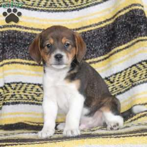 a Beagle Mix puppy named Freddy