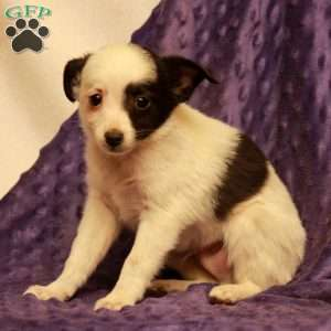 a Toy Australian Shepherd Mix puppy named Frowley