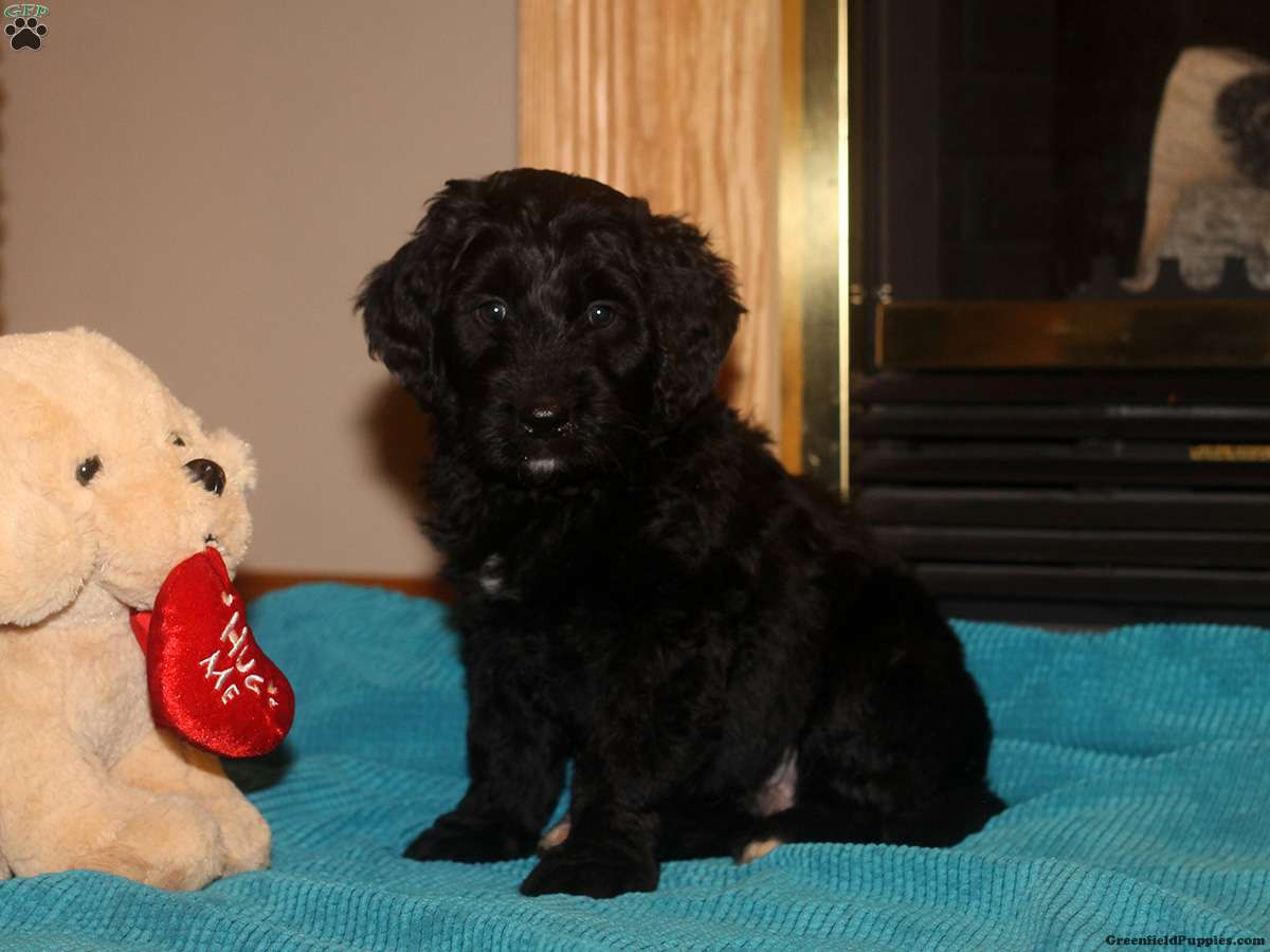 Golden Mountain Doodle Puppies For Sale Greenfield Puppies