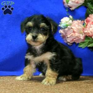 a Yorkie Mix puppy named Handsome