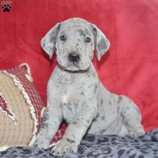Hanna, Great Dane Puppy