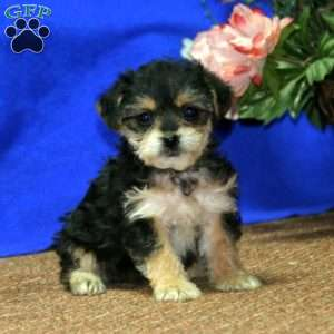 a Yorkie Mix puppy named Hilary