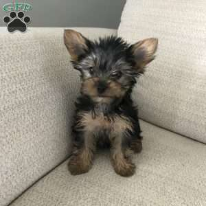 a Yorkshire Terrier puppy named Lexie