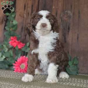 a Aussiedoodle puppy named Inez-F1B