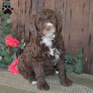 a Aussiedoodle puppy named Inga-F1B