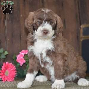 a Aussiedoodle puppy named Isabelle-F1B