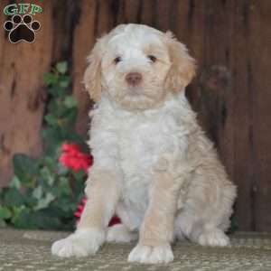 a Aussiedoodle puppy named Ivory-F1B