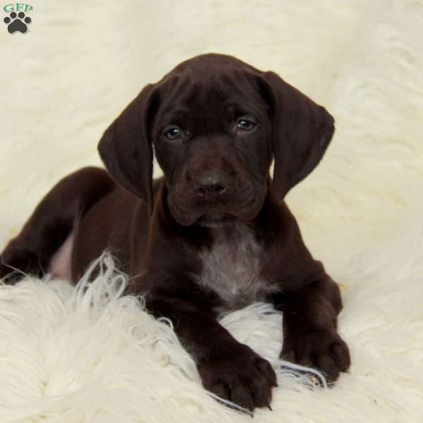 Jax, German Shorthaired Pointer Puppy