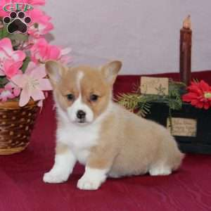 a Pembroke Welsh Corgi puppy named Jenny