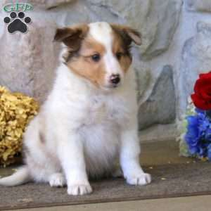a Shetland Sheepdog puppy named Jerry