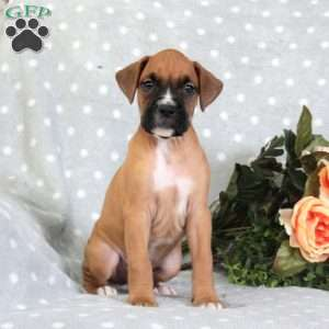 a Boxer puppy named Jimmy