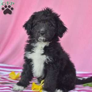 a Aussiedoodle puppy named Cali