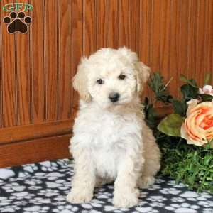 a Cockapoo puppy named Karter