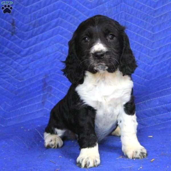 Katye, English Springer Spaniel Puppy