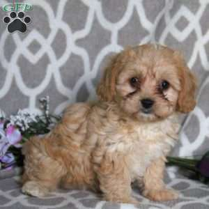 a Cavapoo puppy named Kelly