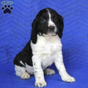 a English Springer Spaniel puppy named Kelly