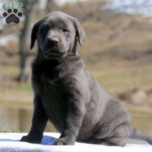 a Charcoal Labrador Retriever puppy named Kelsie