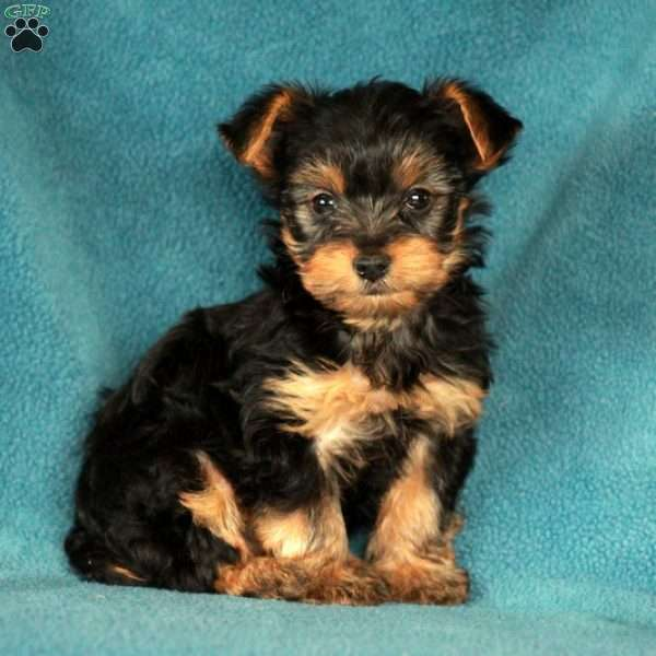 Kirby, Yorkshire Terrier Puppy