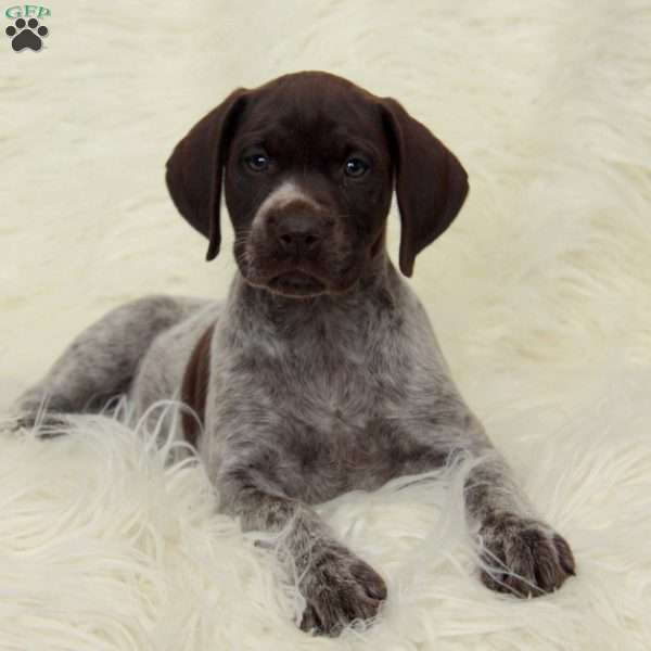 Kisha, German Shorthaired Pointer Puppy