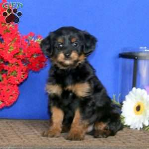 a Miniature Poodle Mix puppy named Kody