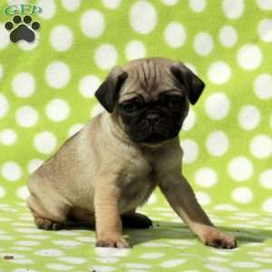 a Pug puppy named Kordy