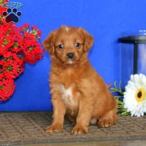 a Cavalier King Charles Mix puppy named Kutie