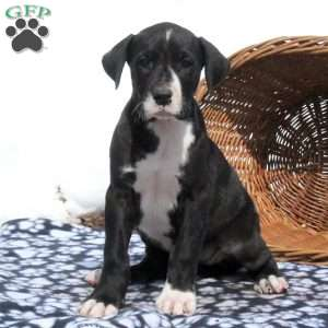 a Great Dane puppy named Laina