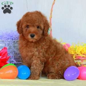 a Miniature Poodle puppy named Lockland