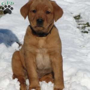 a Golden Retriever Mix puppy named Lux