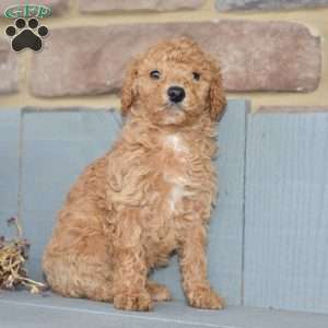 a Standard Poodle puppy named Marco