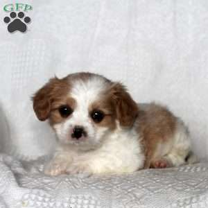 a Cavalier King Charles Mix puppy named Martin