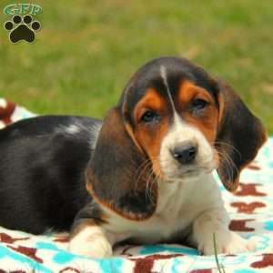 a Basset Hound puppy named Meadow
